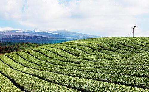 イニスフリー済州島茶畑